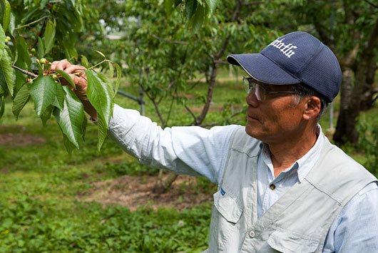 サクランボの生長を確認するマルトモ園