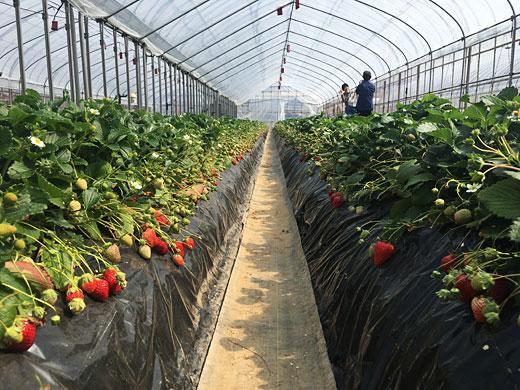 おいCベリーが実るイチゴ農園