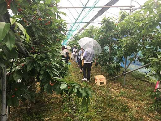山の果樹園サクランボ狩りの様子