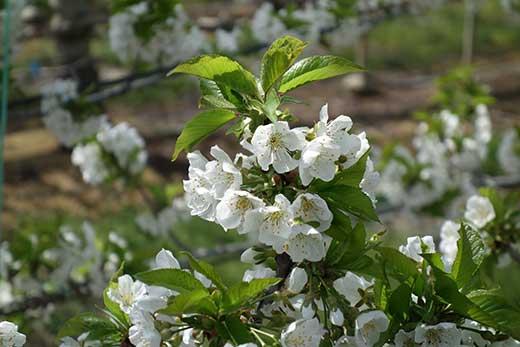 真っ白なさくらんぼの花