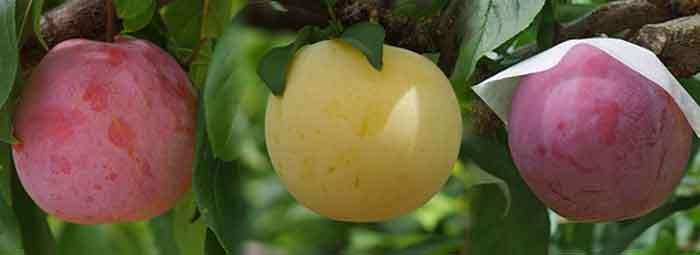 複数品種の桃